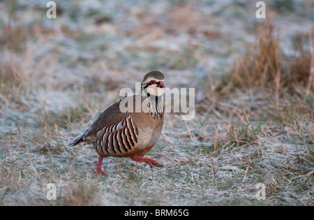 Red-legged Partridge Alectoris rufa Norfolk winter - Stock Photo