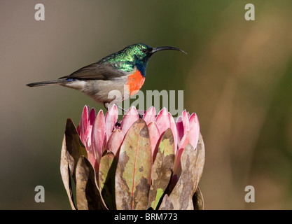 Male greater double-collared sunbird  perched on a Protea - Stock Photo