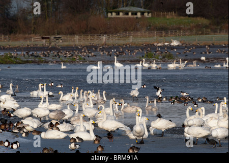 Whooper Swans Cygnus cygnus and other wildfowl at Martin Mere Wildfowl & Wetlands Trust Reserve December - Stock Photo