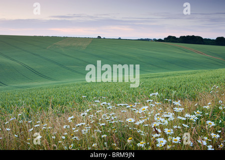 Daisies growing on the edge of a crop field in the South Downs National Park, Hampshire, England. Summer (July) - Stock Photo