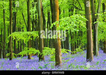 Common Bluebells (Hyacinthoides non-scripta) flowering in a beech wood, West Woods, Lockeridge, Wiltshire, England. - Stock Photo