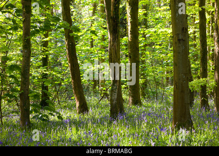 Common Bluebells (Hyacinthoides non-scripta) growing in Coed Cefn woodland near Crickhowell, Brecon Beacons National - Stock Photo