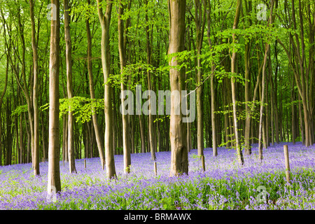 Common Bluebells (Hyacinthoides non-scripta) flowering in West Woods in Springtime, Lockeridge, Marlborough, Wiltshire, - Stock Photo