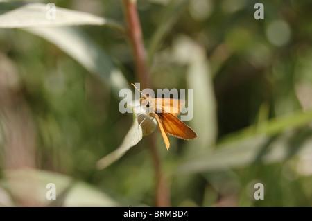 Photo of a skipper butterfly (Hesperiidae sp.) - Stock Photo