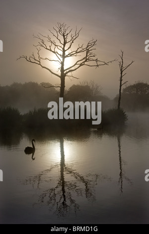 Misty morning on a fishing lake with dead trees and a swan, Morchard Road, Devon, England. - Stock Photo
