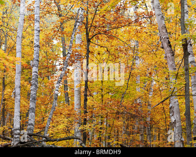Fall nature scenery of birch trees with colorful yellow leaves in a forest. Arrowhead Provincial Park, Ontario, Canada. Stock Photo