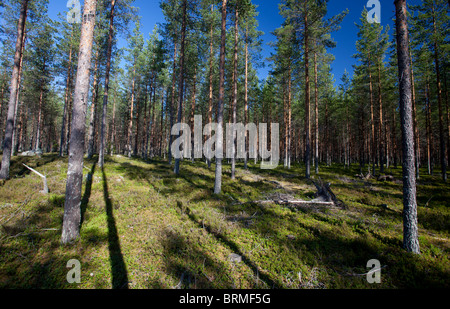 Young pine forest  ( Pinus sylvestris ) at dry sandy esker , Finland - Stock Photo