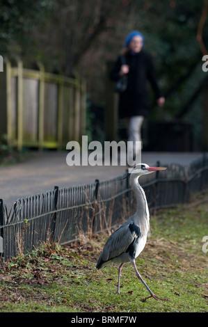 Grey Heron Ardea cinerea Regents Park Central London winter - Stock Photo