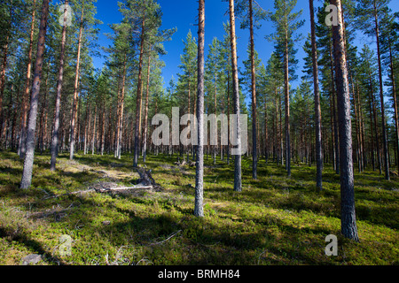 Young pine ( Pinus sylvestris ) forest growing at dry heathland , Finland - Stock Photo