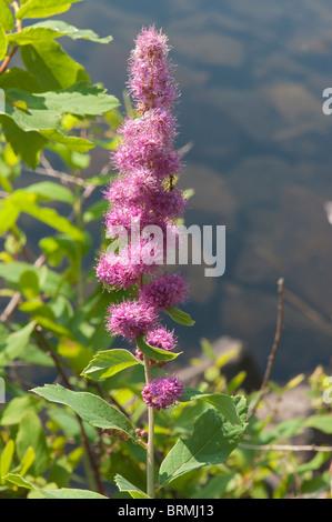 Douglas Spirea (Spiraea douglasii) growing on the shore of an alpine lake in the Oregon Cascades - Stock Photo