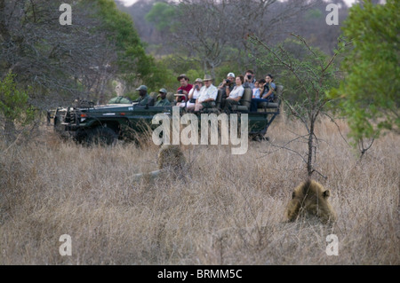 Tourists in an open game drive vehicle viewing two male lions - Stock Photo