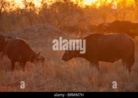 Moody scenic view of a buffalo herd feeding in dry bushveld at sunset - Stock Photo
