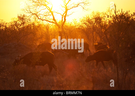 Moody scenic view of a buffalo herd moving through dry bushveld at sunset - Stock Photo