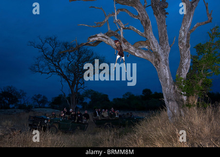 Tourists in an open game drive vehicle viewing a leopard in a tree at dusk - Stock Photo