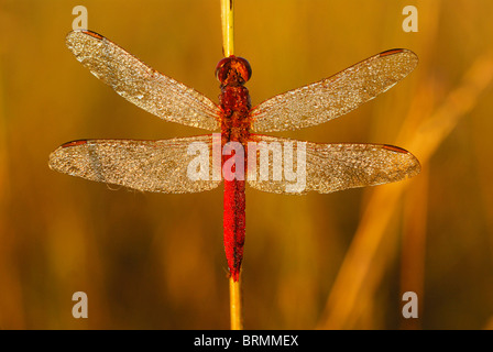 Dew-covered dragonfly with its wings outstretched on the stalk of a plant - Stock Photo