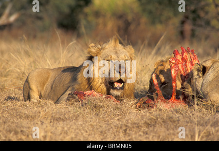 Two young male lions feeding on a kill - Stock Photo
