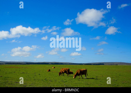 Cows grazing in green field - Stock Photo