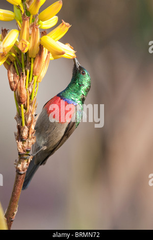 Male greater double collared Sunbird sucking nectar from  a yellow flower - Stock Photo