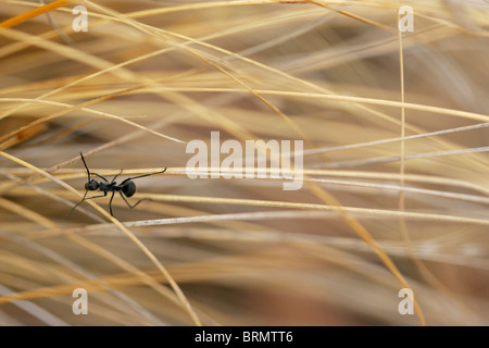 An aerial view of an Ant crawling along dry grass stalks - Stock Photo