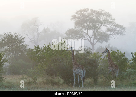 Giraffe browsing on leaves on a misty morning - Stock Photo