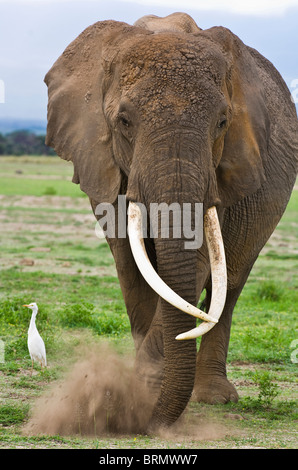 A portrait of Echo who was one of the famous elephant matriarchs. She died in 2009. - Stock Photo