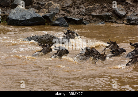 A Nile crocodile [Crocodylus niloticus] catches a wildebeest while crossing the  Mara River during the wildebeest - Stock Photo