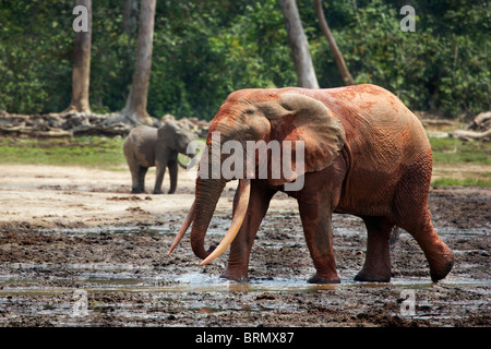 Forest elephant (Loxodonta africana cyclotis) covered in red mud with a calf standing in the background - Stock Photo