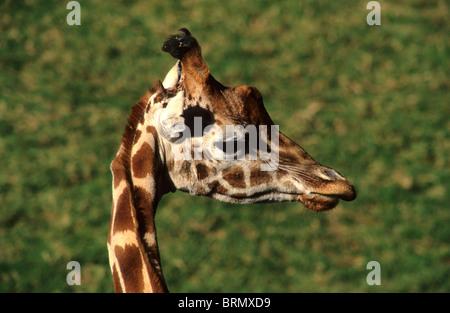 Giraffe (Giraffa camelopardalis) portrait - Stock Photo
