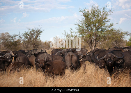 Buffalo herd in bushveld - Stock Photo