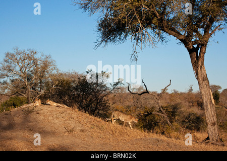 Scenic view of a group of cheetah resting on a termite mound - Stock Photo