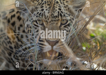 Tight portrait of a leopard snarling - Stock Photo