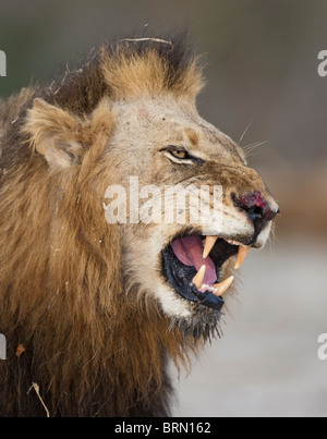 A portrait of a Lion with a bloody nose snarling - Stock Photo