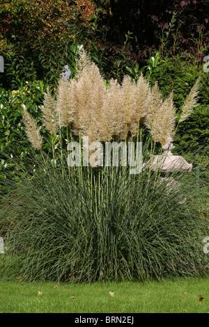 pampas grass cortaderia selloana flowering flowers plant. Black Bedroom Furniture Sets. Home Design Ideas