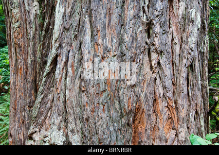 Bark of an Coast Redwood, Sequoia sempervirens, Muir Woods National Park, California, USA - Stock Photo
