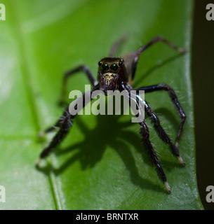 JUMPING SPIDER (Salticidae family) Khao Sok National Park, southern Thailand. - Stock Photo