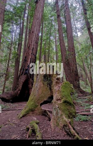 Vegetation and Coastal Redwoods, Sequoia sempervirens, Muir Woods National Park, California, USA - Stock Photo