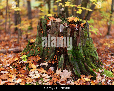 Fall nature scenery of a tree stump covered with moss and surrounded by fallen maple leaves. Arrowhead Park, Ontario, - Stock Photo