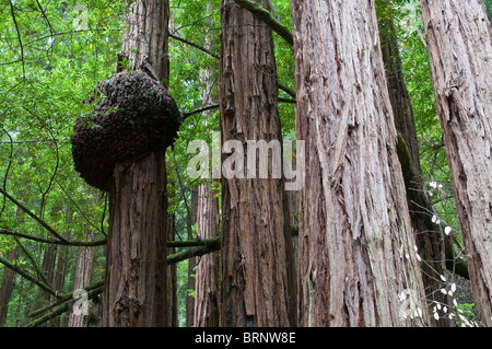 Tree fungus on a coast redwood, Redwoods, Sequoia sempervirens, Muir Woods National Park, California, USA - Stock Photo