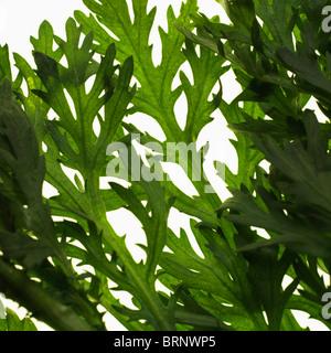 edible shungiku chrysanthemum leaves - Stock Photo