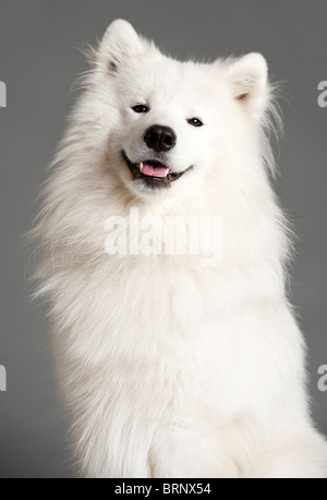 portrait of a a cute samoyed dog - Stock Photo