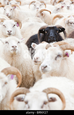 Black sheep amongst white Icelandic sheep. - Stock Photo