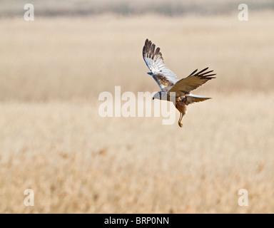 Marsh harrier ( Circus aeruginosus ) female hunting - Stock Photo