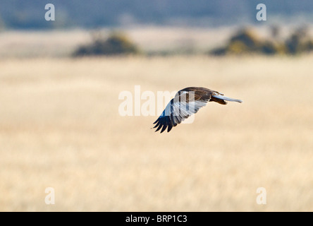 Marsh harrier ( Circus aeruginosus ) male hunting - Stock Photo