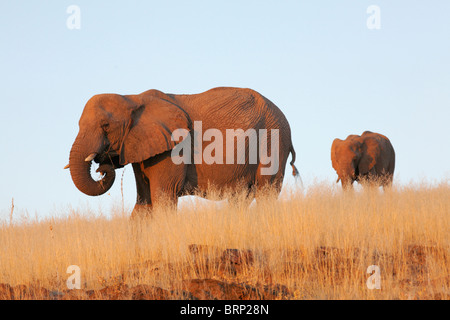 Elephant mother walking in dry grassland with young calf following behind - Stock Photo