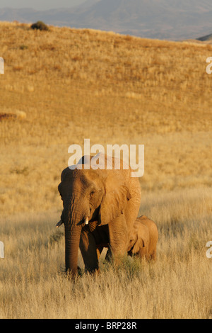 Elephant mother walking in semi arid grassland with calf following behind - Stock Photo