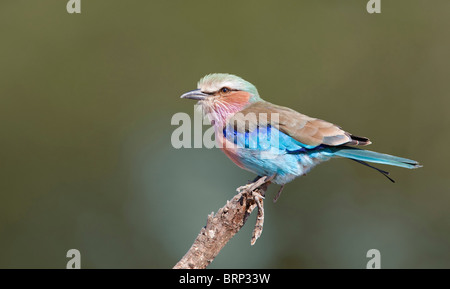 Lilac-breasted roller perched on a branch - Stock Photo