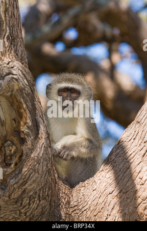 Vervet Monkey sitting in the fork of a tree - Stock Photo