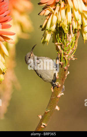 Greater Double-collared Sunbird perched on an aloe - Stock Photo