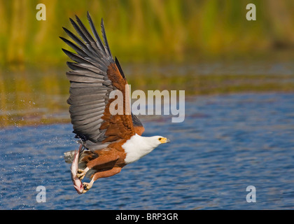 African fish eagle taking off from water with a large fish in its talons - Stock Photo