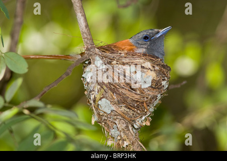 African paradise-flycatcher sitting on a nest - Stock Photo